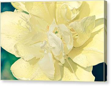 Soothing Daffodils Canvas Print by Sonali Gangane