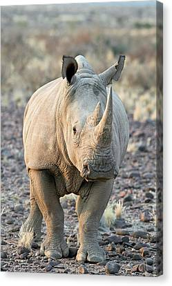 Sothern White Rhinoceros Canvas Print by Tony Camacho