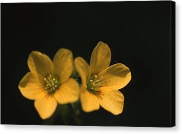 Sour Grass Flower Canvas Print by Retro Images Archive