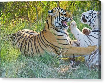 South Africa Orange And White Tigers Canvas Print by Jan and Stoney Edwards