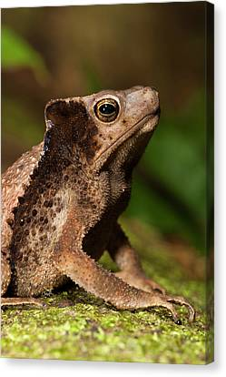 South American Crested Toad (rhinella Canvas Print by Pete Oxford