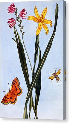 South American Ixia Canvas Print by Pierre Joseph Buchoz