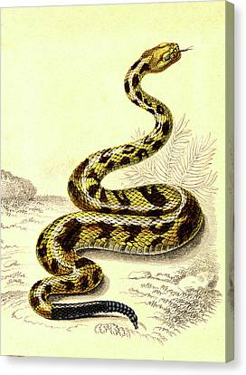 South American Rattlesnake Canvas Print by Collection Abecasis