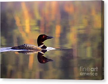 South Cove Loon Canvas Print by Jim Block