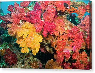 South Pacific, Fiji, Rainbow Reef Canvas Print