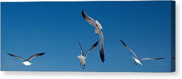 South Padre Seagull Dance Canvas Print by Bonita Hensley