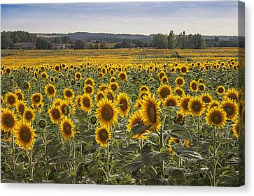 Field Of Crops Canvas Print - South West Sunflowers by Georgia Fowler