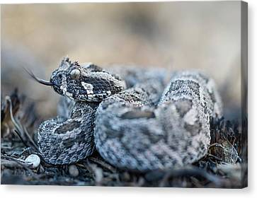 Southern Adder Canvas Print by Peter Chadwick