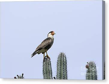 Canvas Print featuring the photograph Southern Crested-caracara Polyborus Plancus by David Millenheft