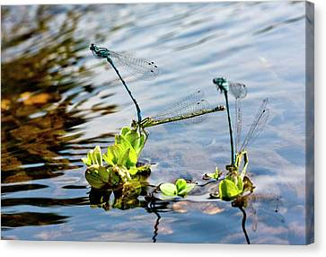 Damselfly Canvas Print - Southern Damselflies Mating by Bob Gibbons