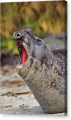 Elephant Seals Canvas Print - Southern Elephant Seal Bull Mouth Wide by Martin Zwick