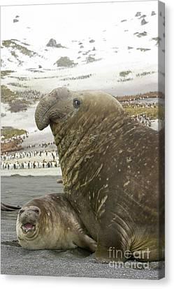 Elephant Seals Canvas Print - Southern Elephant Seal Couple  by Yva Momatiuk John Eastcott