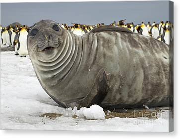 Elephant Seals Canvas Print - Southern Elephant Seal Weaner by Yva Momatiuk John Eastcott