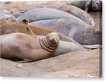 Elephant Seals Canvas Print - Southern Elephant Seals by Ashley Cooper
