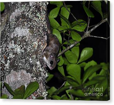 Southern Flying Squirrel Canvas Print by Al Powell Photography USA