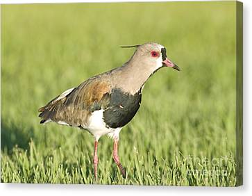 Southern Lapwing Canvas Print