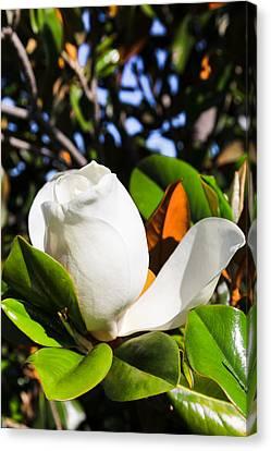 Southern Magnolia Blossom Canvas Print