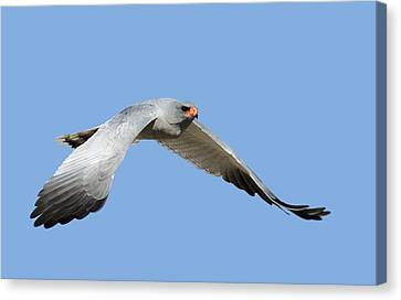 Southern Pale Chanting Goshawk In Flight Canvas Print by Johan Swanepoel