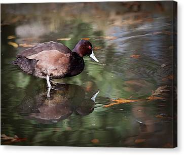 Southern Pochard Canvas Print by Tyson and Kathy Smith