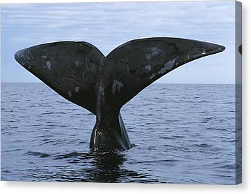 Southern Right Whale Diving Valdes Canvas Print by Hiroya Minakuchi
