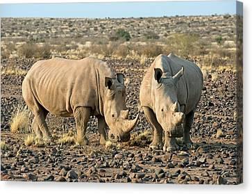 Southern White Rhinoceros Canvas Print by Tony Camacho