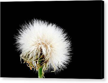 Sow Thistle Seed Head Canvas Print by Us Geological Survey