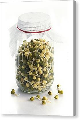 Soya Bean (glycine Max) Sprouts Canvas Print by Science Photo Library