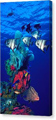 Spadefishes With Nassau Grouper Canvas Print by Panoramic Images
