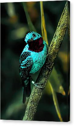 Canvas Print featuring the painting Spangled Cotinga Turquoise Bird by Tracie Kaska