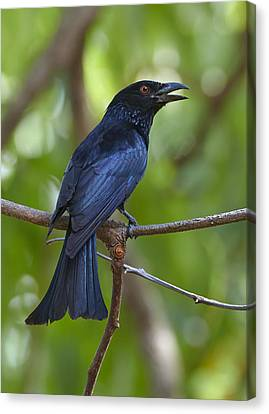 Spangled Drongo Calling Queensland Canvas Print