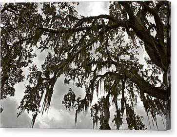 Canvas Print featuring the photograph Spanish Moss by Alice Mainville