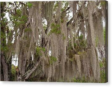 Spanish Moss Growing On Wild Tamarind Canvas Print by Bob Gibbons
