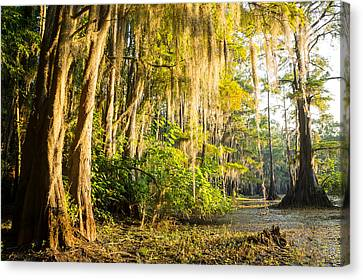 Spanish Moss In The Morning Sun Canvas Print by Ellie Teramoto