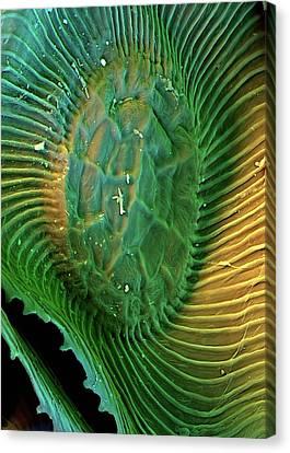 Spanish Moss Leaf Canvas Print