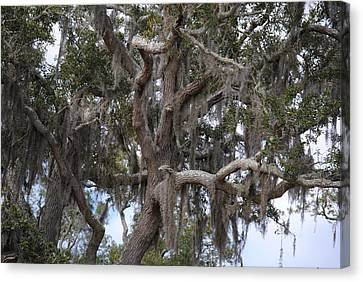 Spanish Moss On Live Oaks Canvas Print
