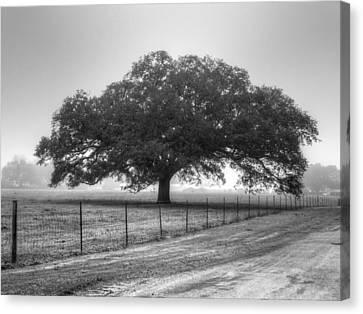 Spanish Oak Black And White Canvas Print by Lanita Williams