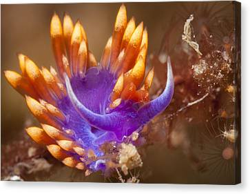Spanish Shawl Nudibranch Canvas Print