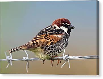 Hirundo Canvas Print - Spanish Sparrow On Barbed Wire by Bildagentur-online/mcphoto-schaef
