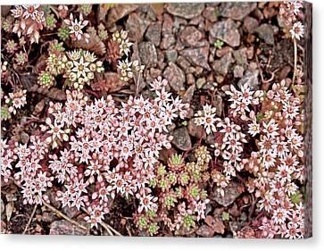 Perennial Canvas Print - Spanish Stonecrop (sedum Hispanicum) by Dan Sams