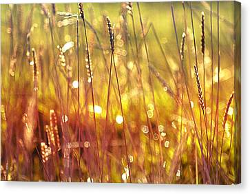 Sparkling Wet Grass In The Sunlight Canvas Print by Anne Macdonald