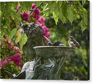 Sparrow At Bath Canvas Print by Laura George