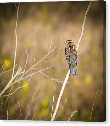 Sparrow In Marshland Canvas Print by Carolyn Marshall