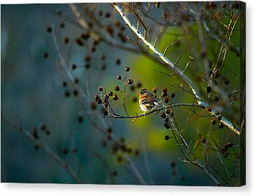 Sparrow In The Warm Light Canvas Print by Shelby  Young