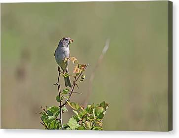 Sparrow Canvas Print by Jim Nelson