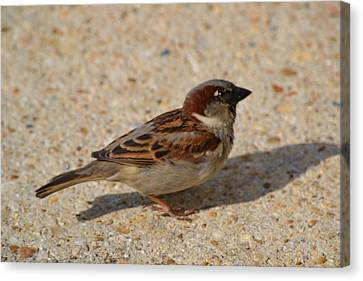 Canvas Print featuring the photograph Sparrow by Mary Zeman