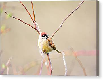 Full-length Portrait Canvas Print - Sparrow On Branch  by Tommytechno Sweden