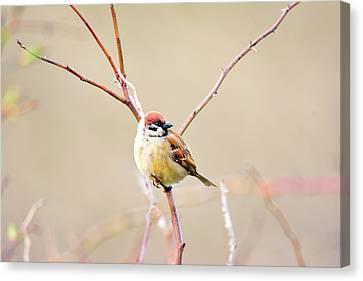 Sparrow On Branch  Canvas Print