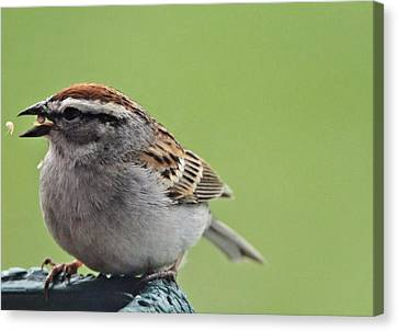 Sparrow Snack Canvas Print by Dan Sproul