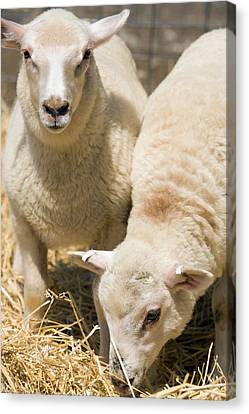 Specially Bred Lambs Canvas Print by Peggy Greb/us Department Of Agriculture