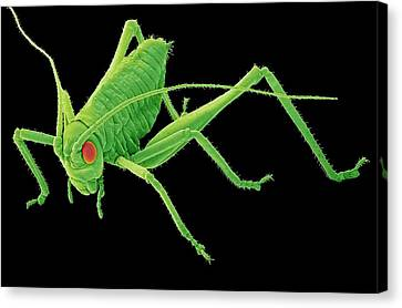 Speckled Bush-cricket Nymph. Sem Canvas Print by Steve Gschmeissner